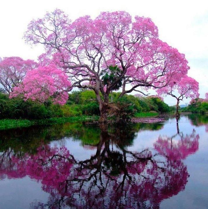 Pink Trumpet Tree from Brazil