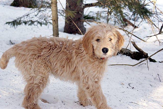 Twelve Week Old Goldendoodle Pup Goldendoodle Wikipedia The