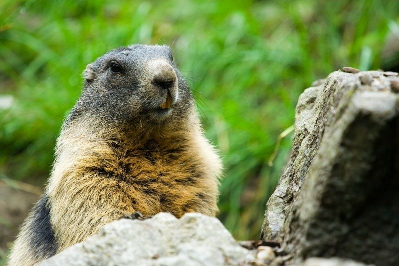 Vittoria! A Bolzano le marmotte sono salve - http://bit.ly/2dO6QJ2 - Pet Community and Social Network