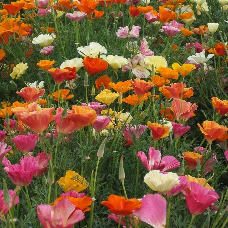 Mission Bell Poppy Seeds (Mixed MultiColor Poppies