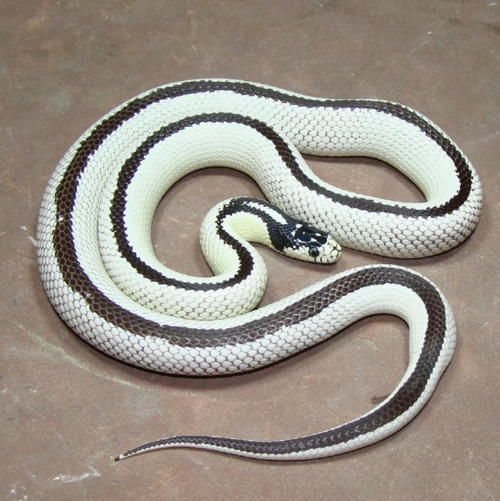 Melanistic Corn Snake