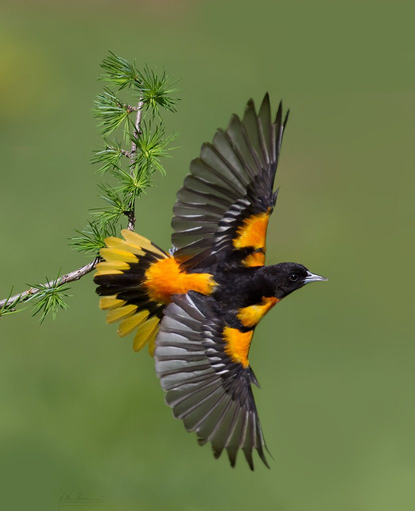 Baltimore Oriole Wikipedia The Free Encyclopedia Beautiful Birds Oriole Bird Pretty Birds