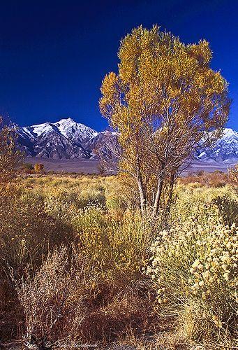Desert Flora with snowy background, Lone Pine, CA