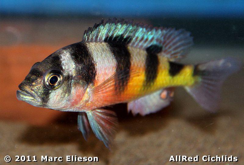 Obliquidens Cichlid Aquarium Fish Cichlids Freshwater Aquarium Fish
