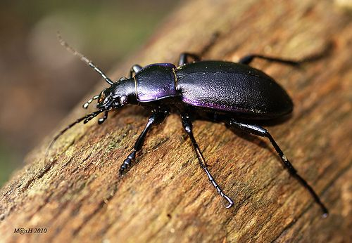 Violet Ground Beetle Carabus Violaceus  Beetles And Insects New Small Brown Bugs In Bathroom Design Ideas