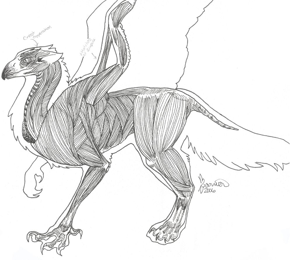 Gryphon Musculature Anatomy by sugarpeep.deviantart.com on ...
