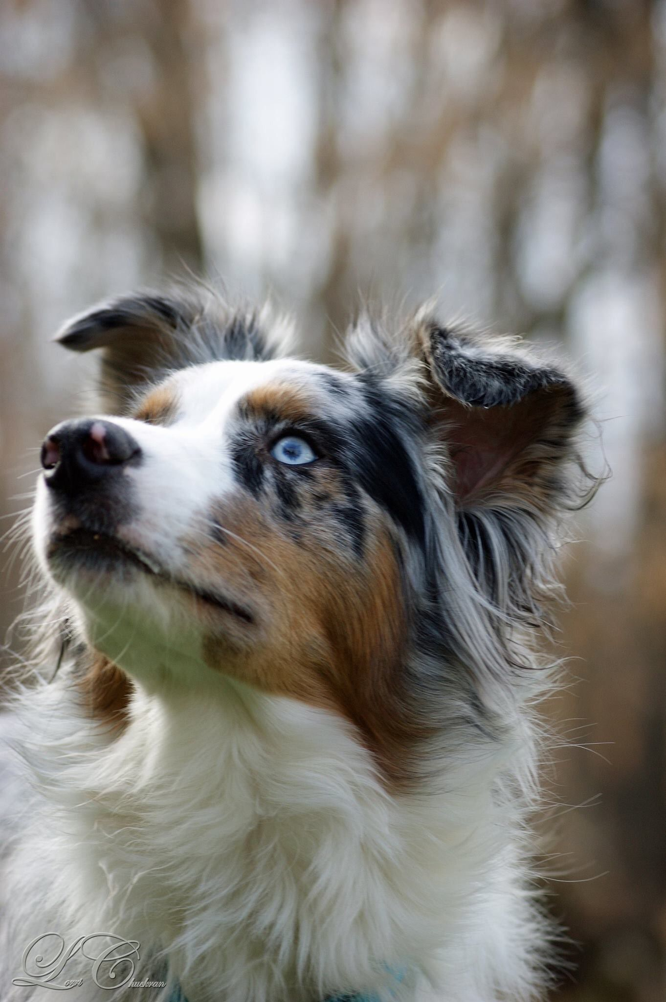 Idea By Abi K On D Ggies Aussie Dogs Australian Shepherd Dogs