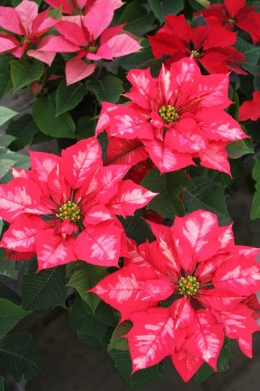 Ice Punch Poinsettias Care Tips Http Www Houseplant411 Com