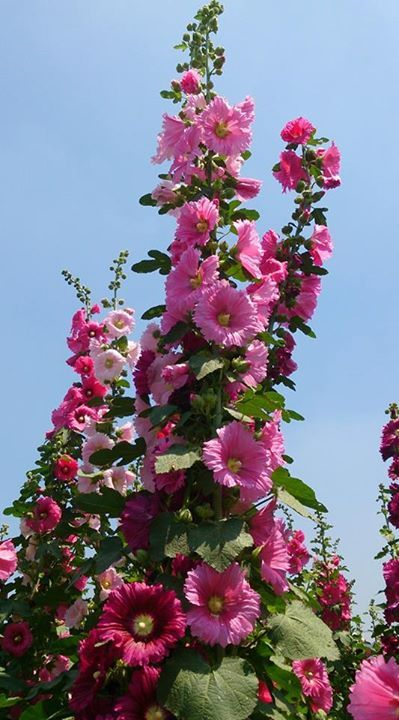 Nini Shih On Facebook Flowers Perennials Flower Garden Hardy Plants