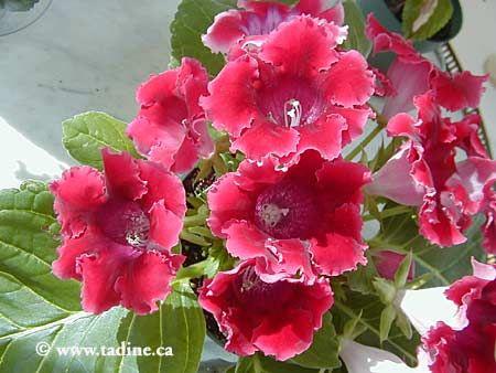 Gloxinia Fleurs Plante Interieur Et Elements Naturels