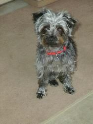 Adopt Sparky on | Rescues | Terrier mix dogs, Yorkie