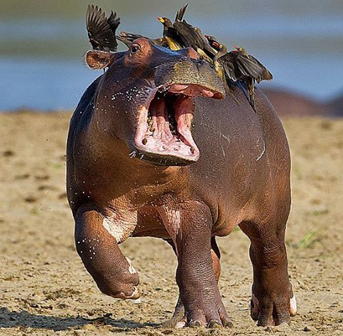 """Nat Geo Wild HD on Instagram: """"Photography by @ (Marc Mol). Hippo Hedren…  In a scene reminiscent of the H…   Comedy wildlife photography, Animals  wild, Hippopotamus"""