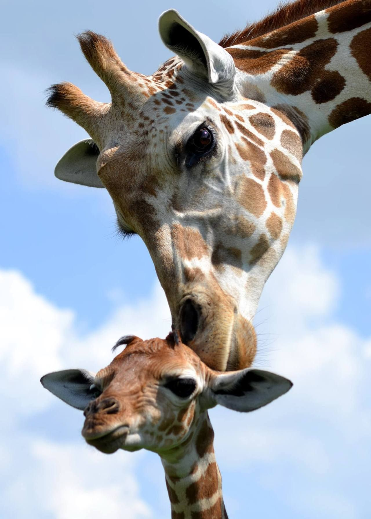 Mama and baby giraffes