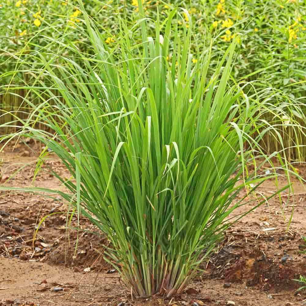 East Indian Lemongrass Seeds Cymbopogon Flexuosus Lemongrass Plant Lemon Grass Grow Lemongrass