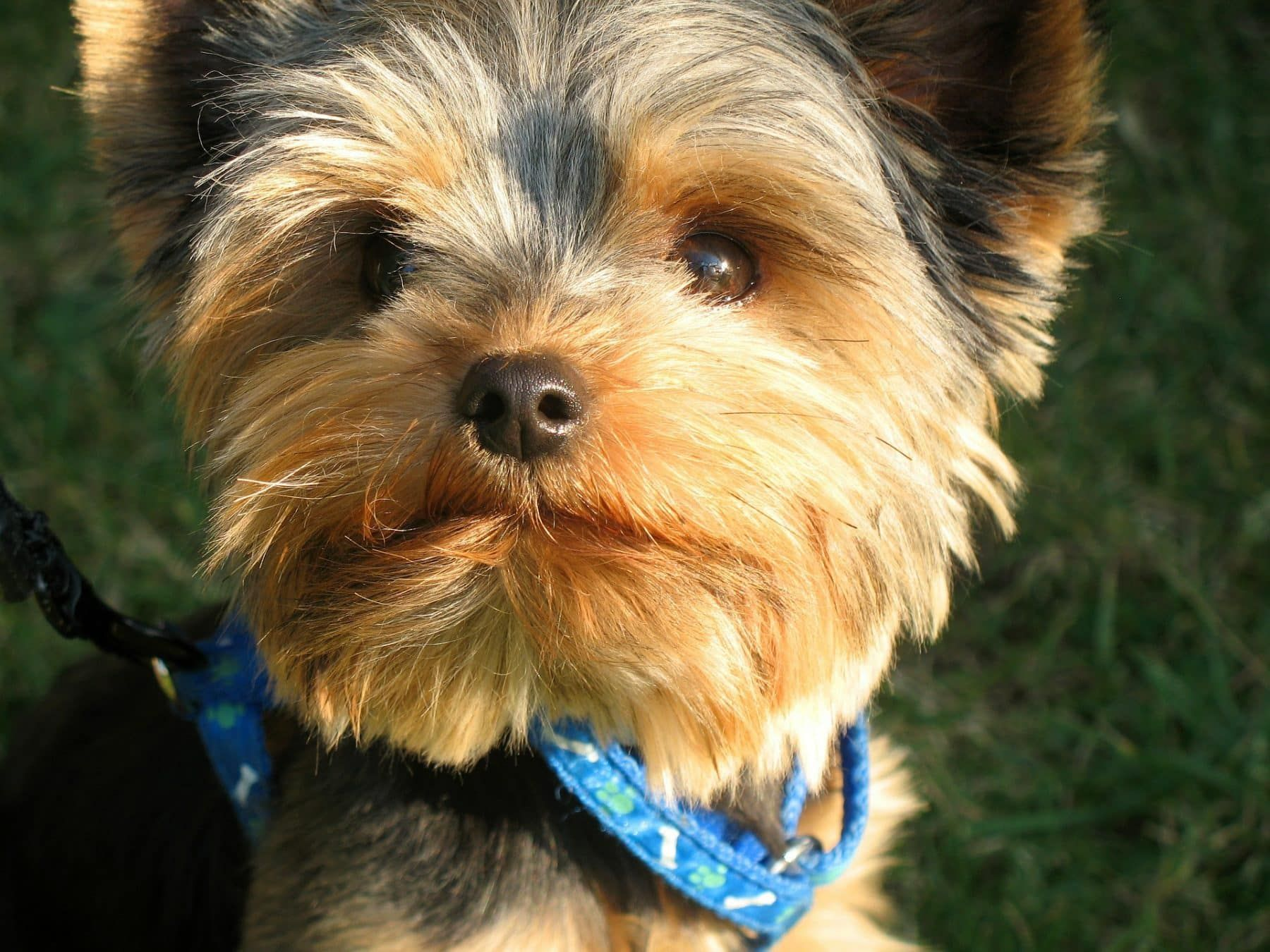 Top 5 Yorkie Haircut Styles For 2019 Yorkie Puppy Yorkie Puppies For Adoption Teacup Yorkie Puppy