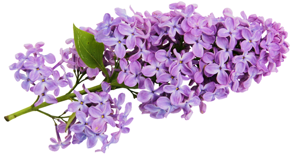 Transparent Lilac Clipart Lilac Flowers Clip Art
