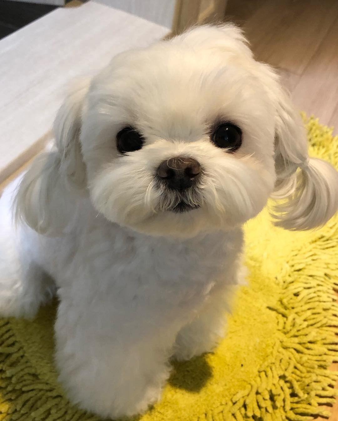Maltese Dog Maltese Dogs Cute Small Dogs Cute Baby Animals