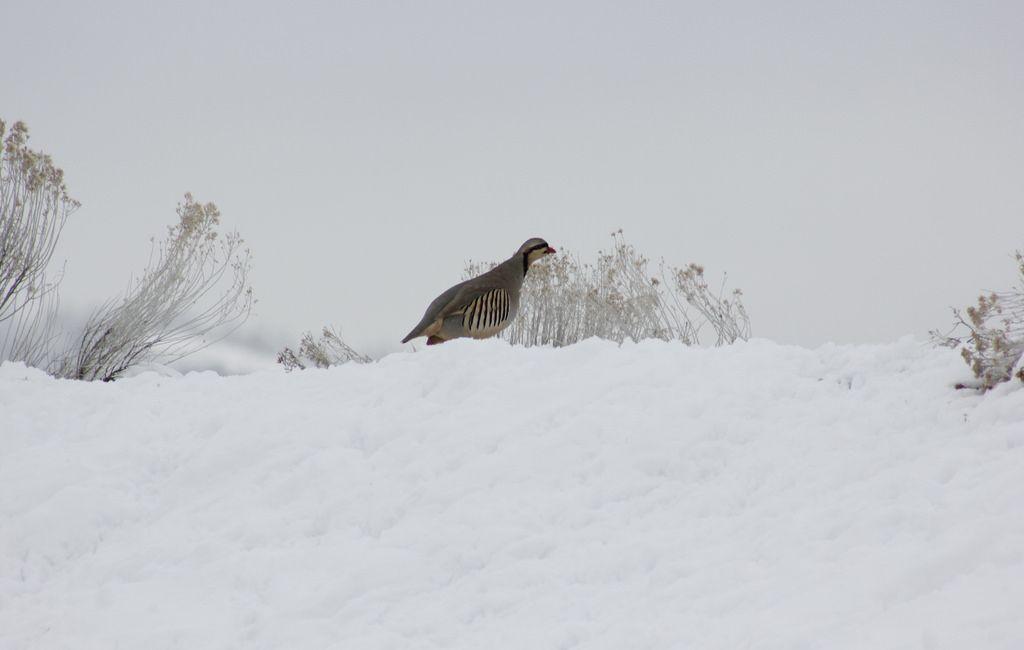 Chukar (_ Isaac _) Tags: wild canada bird nature birds canon bc outdoor wildlife kamloops partridge gamebird introduced chukar