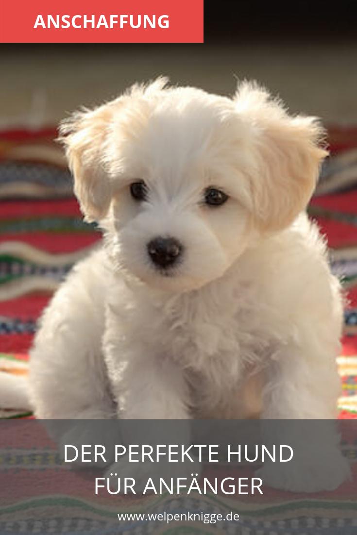 Malteser Welpen Leicht Zu Erziehen Und Ein Toller Familienhund Welpen Hunde Rassen Hunderassen Kleine Hunde