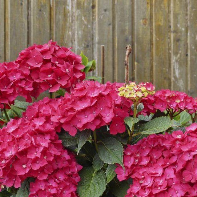 How To Make My Hydrangeas Red Hunker Hydrangea Purple Hydrangea Colors Pink Hydrangea
