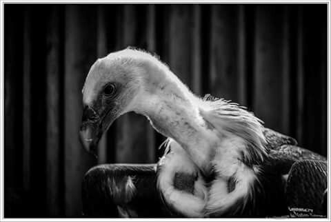 Spectacles Rapaces (Bal des oiseaux Fantômes) Consignes de nourritures  :  #PuyduFou #PuyduFouPark #BalDesOiseauxFantomes #Educations #Consigne  #vulture #birds #bird #equinoxe79 Afin de pouvoir profiter sereinement à un véritable ballet aérien et pour votre sécurité,  Ces magnifiques oiseaux frôlant vos têtes au son de superbes musiques de Thomas Bergersen, se posent proche de vous à la recherche de nourritures, veuillez bien écouter les consignes données en début du spectacle.  nota: Le…