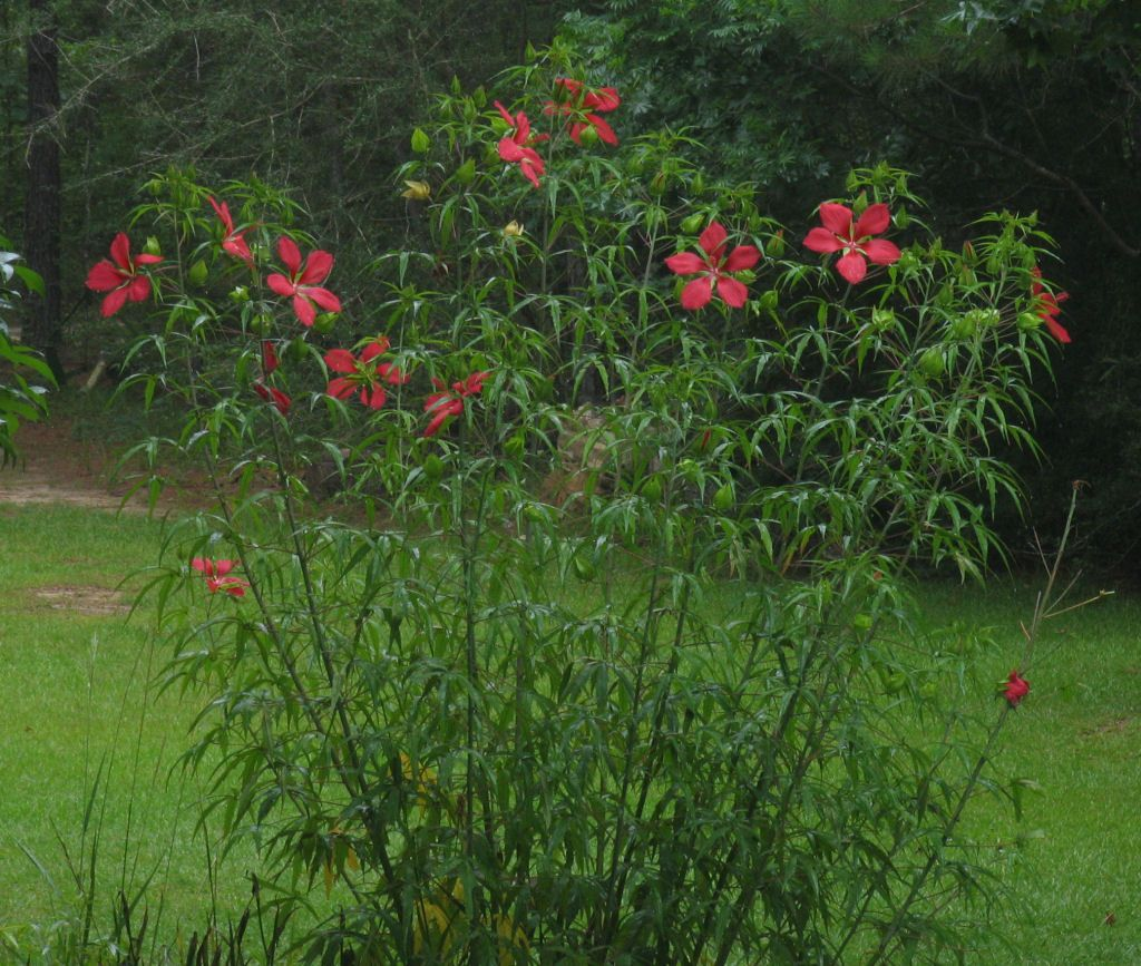 Texas Star Hibiscus Info Tips For Growing A Texas Star Hibiscus