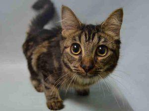 Crescent A1098672 Cat Adoption Cat Shelter Animal Lover