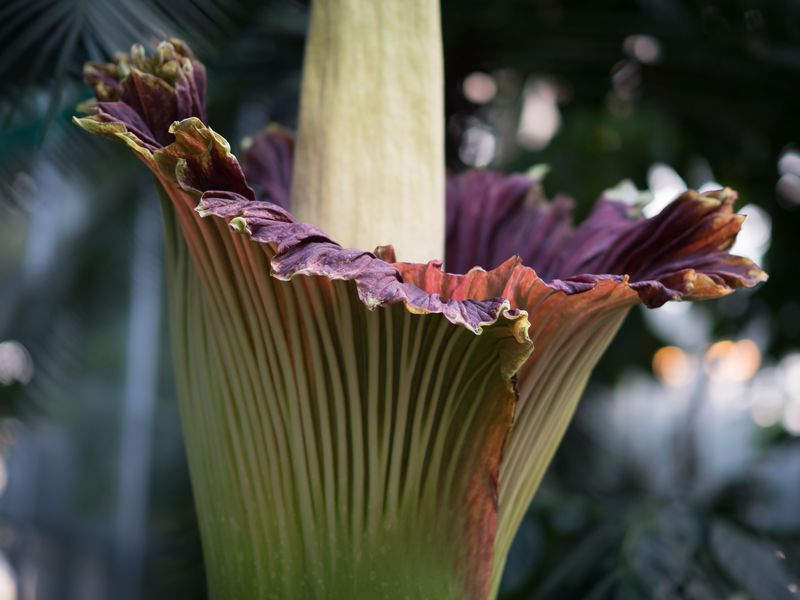 A Triplet Of Corpse Flowers Will Soon Release Their Stench In D C Corpse Flower Plant Bud Flowers