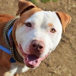 Philadelphia Pa American Pit Bull Terrier Meet Vinny A Dog For