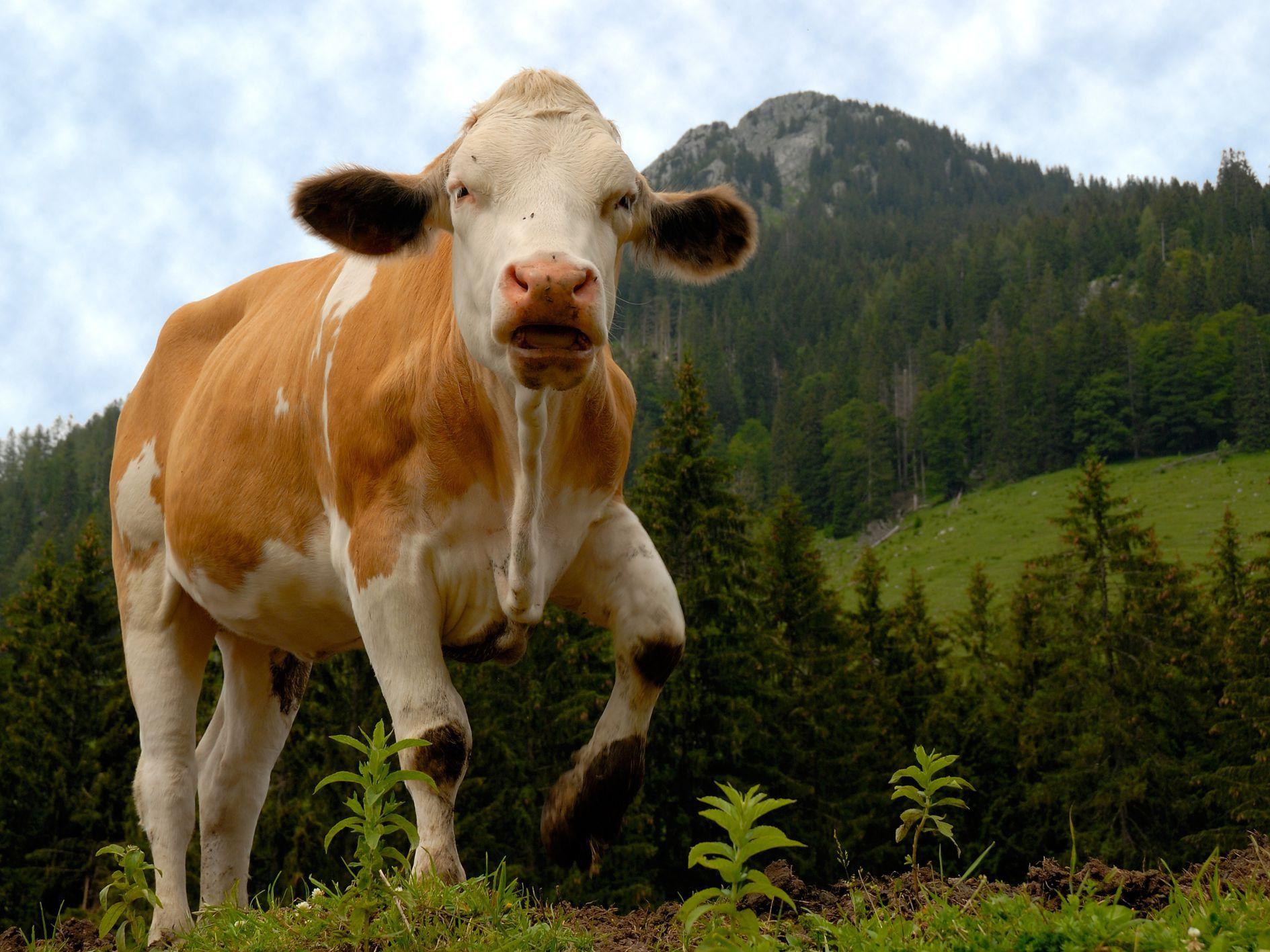 7 Farm Animals Crafts For Kids Cow Getty 5a C1ec2f Cf47