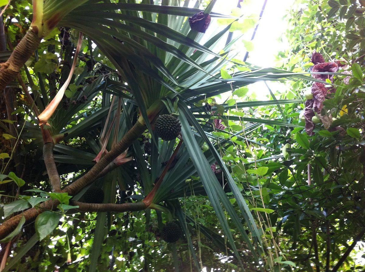 Gartengestaltung Kiel, schraubenbaum im botanischen garten der christian-albrechts, Design ideen