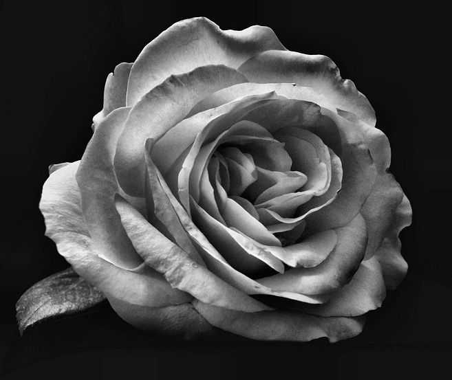 Black And White Images Roses