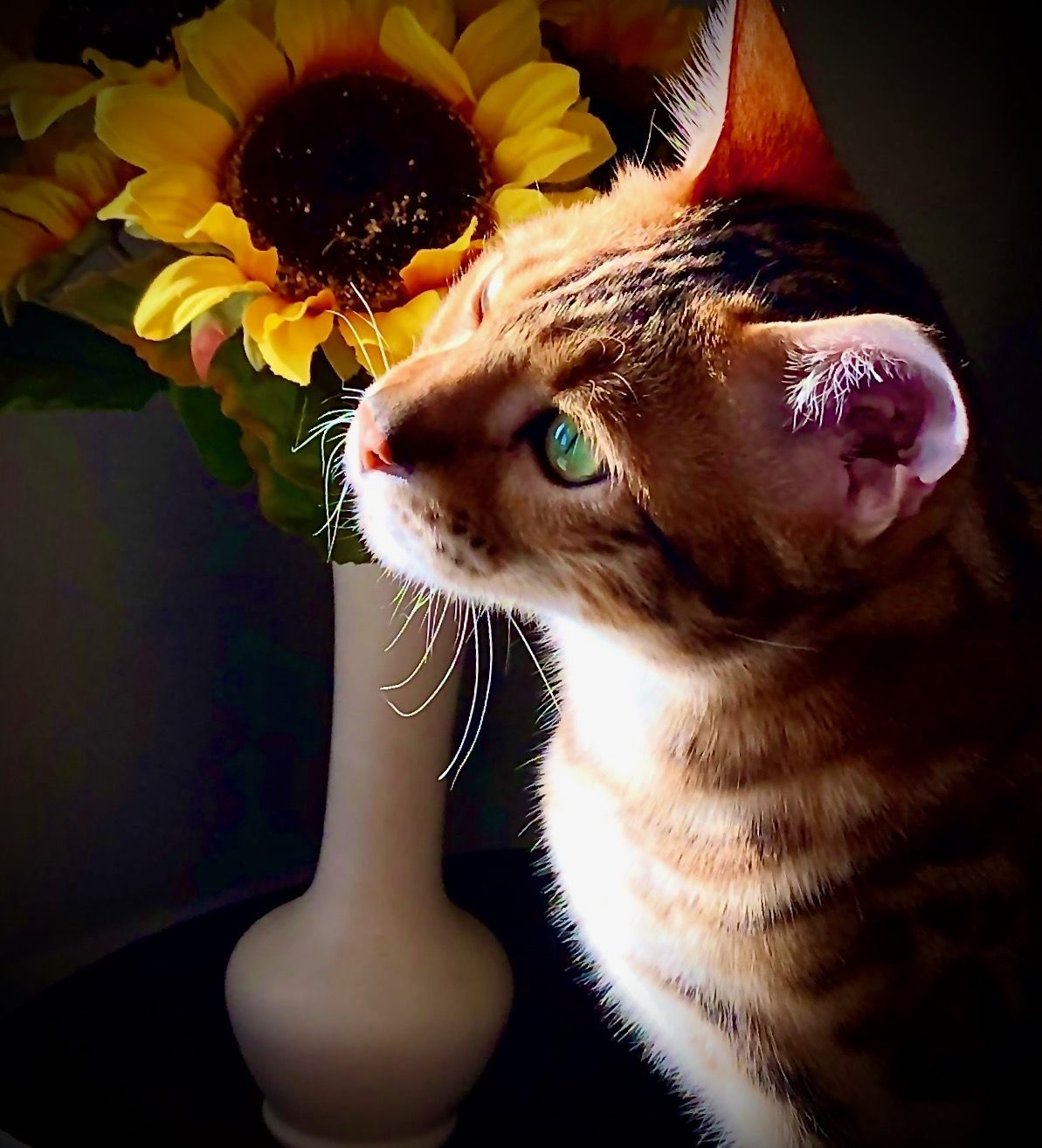 Pin by Jerri Ann on My Bengal cat, Rudy in 2020 Bengal