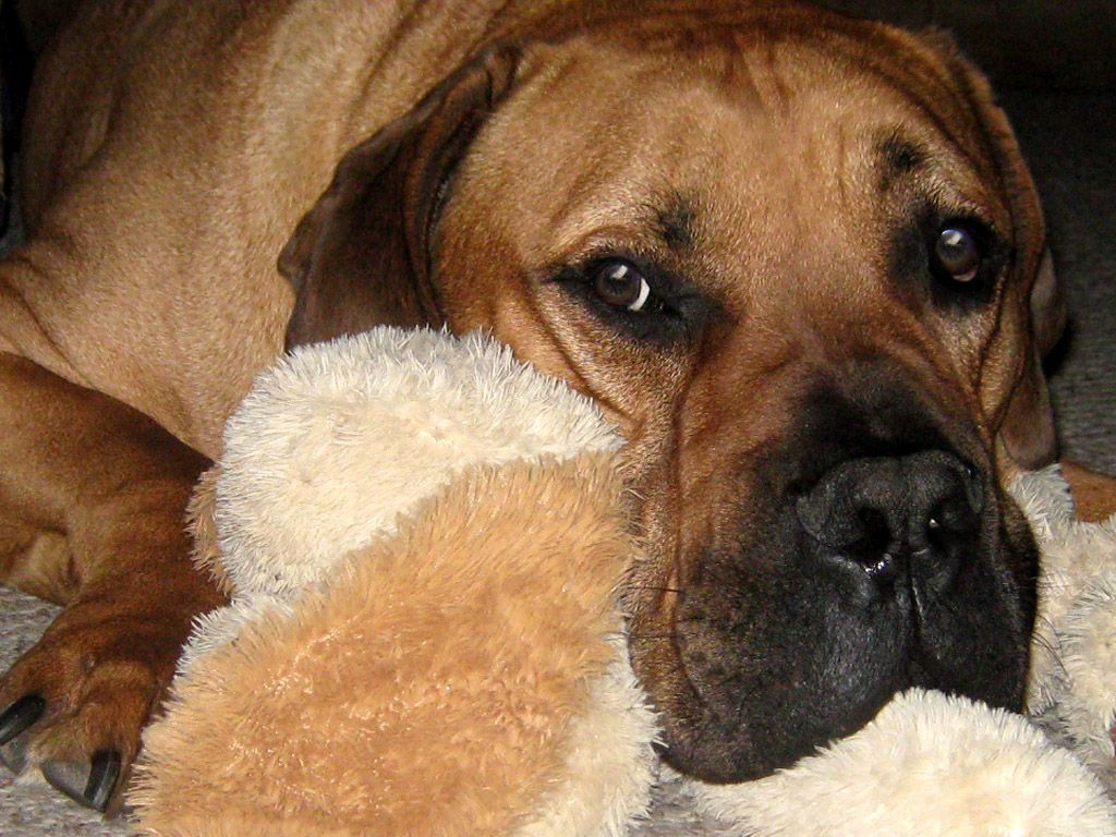 Our Sampson the South African Boerboel Mastiff South