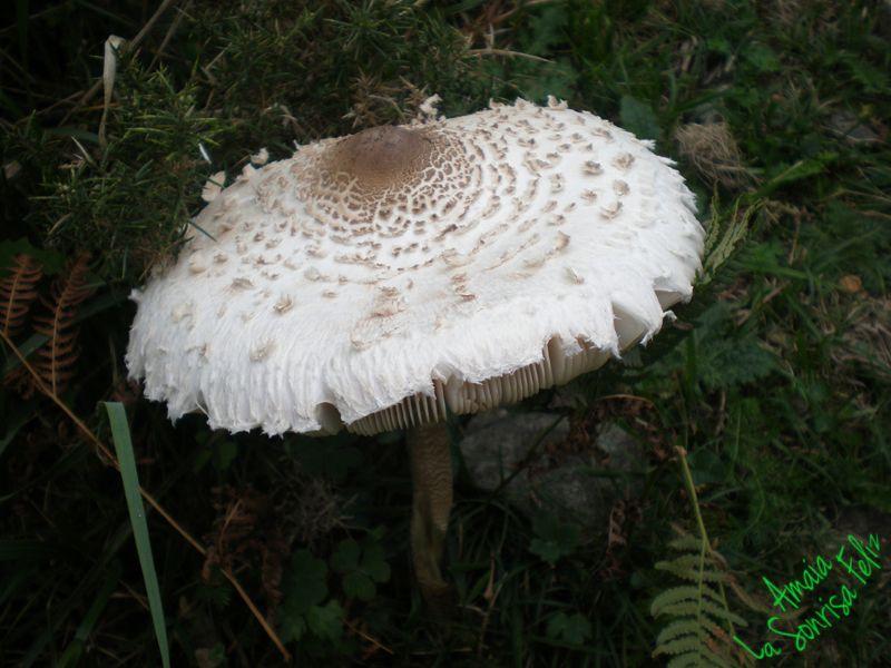 Macrolepiota procera  ALEbidun