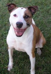 Adopt Lola On Black Russian Terrier Terrier Mix Breeds Bull
