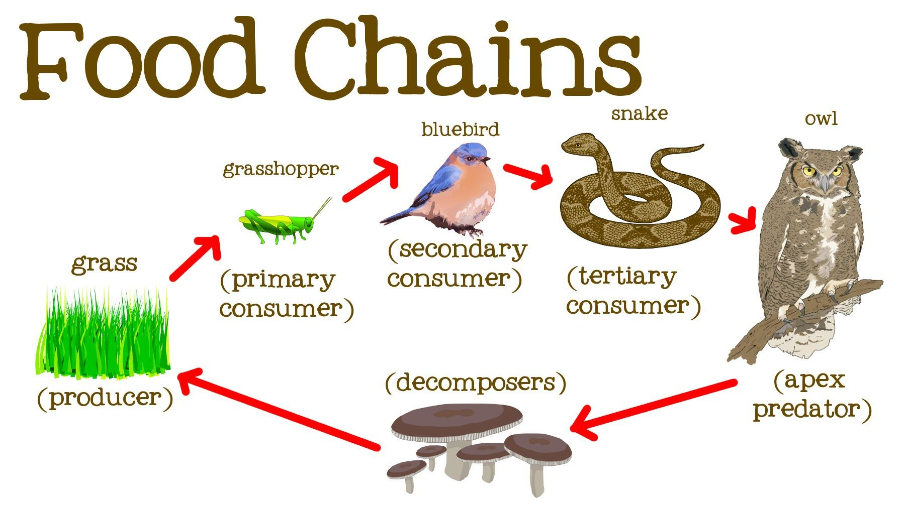 Food Chains For Kids Food Webs The Circle Of Life And The Flow Of Energy Freeschool Youtube Food Chain Food Chains Anchor Chart Food Chain Diagram