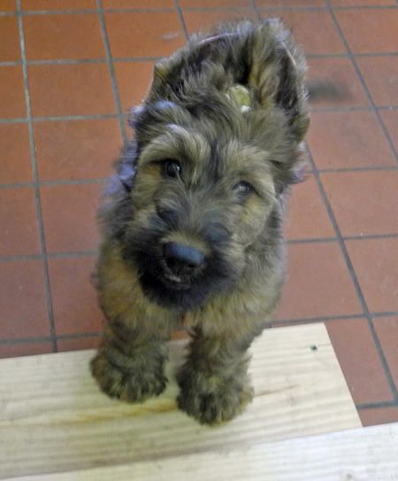 Fergie The Briard With A Winning Doggie Grin And Some Truely Magnificent Ears Briard Puppies Briard Beautiful Dog Breeds