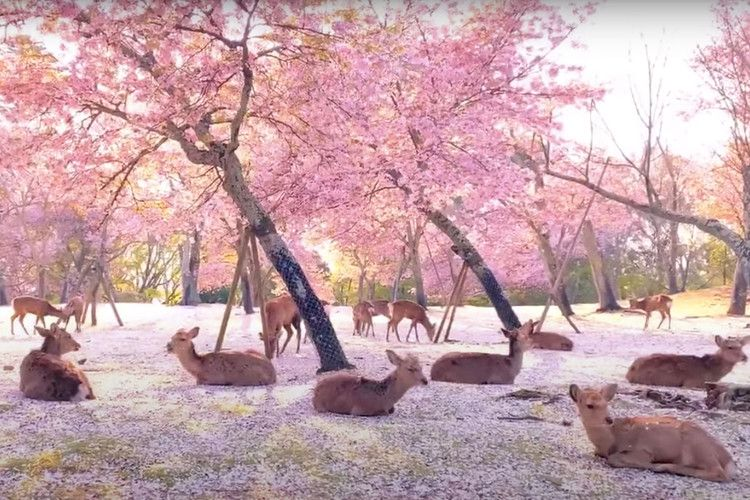 This Magical Video Of Deer Relaxing Under Cherry Blossom Trees Looks Like A Real Life Disney Movie Travel Leisure Japanese Park Blossom Trees Cherry Blossom Tree