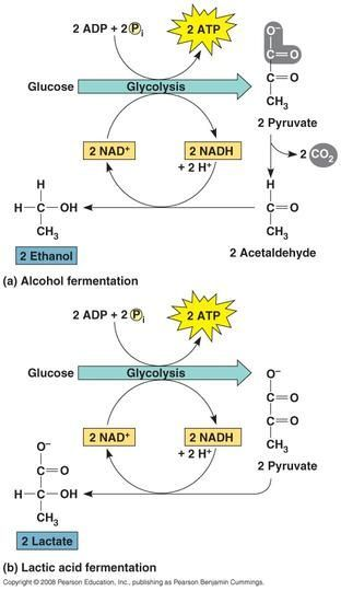 Cellular respiration glycolysis krebs cycle electron transport cellular respiration glycolysis krebs cycle electron transport chain the key differences between prokaryote and eukaryote cell respiration fermentation ccuart Image collections