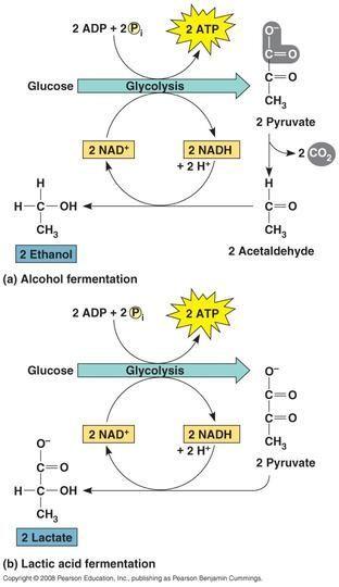 Cellular Respiration Glycolysis Kreb's Cycle Electron Transport ...