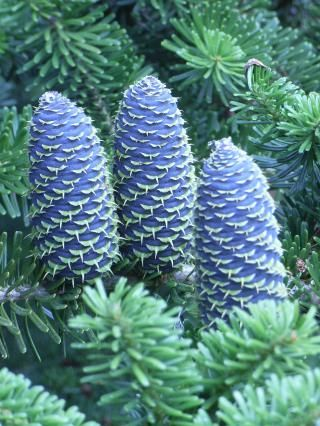 Stunningly Beautiful Blue Cones On A Korean Fir Tree Gardening