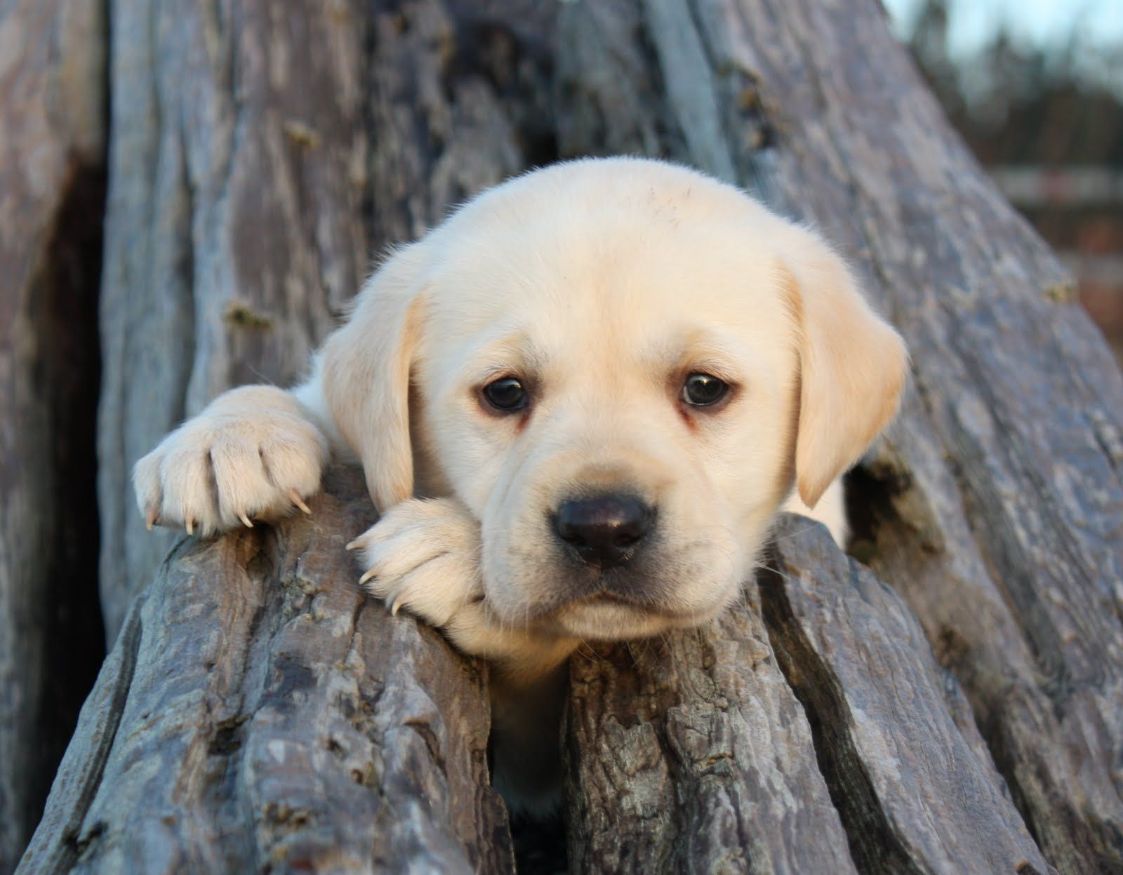 Labrador Bambini ~ Cute lab puppers pinterest labs labradors and dog