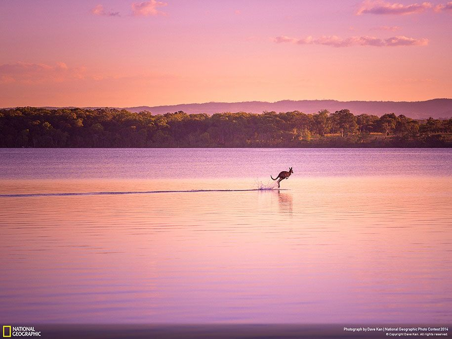 """""""I was finishing up a photo shoot when a wild kangaroo appeared out of nowhere and bounded onto the lake, as if walking on water. This, along with the picturesque sunset combined to create an absolute visual treat!"""" Photo: Dave Kan"""