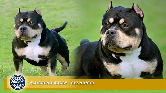 Becoming An American Bully Breeder Read This First In 2020 American Bully American Bully Kennels American Pitbull Terrier