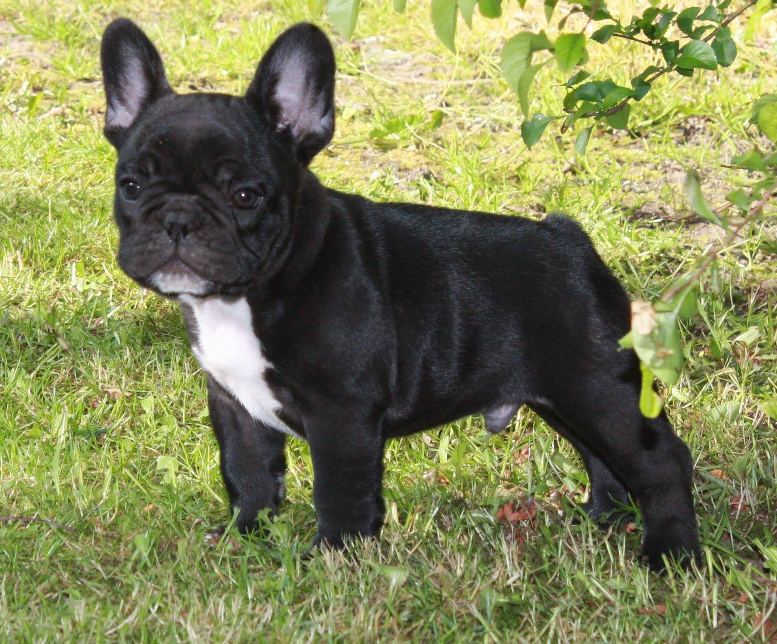 Franse Bulldog Puppy Google Zoeken Franse Bulldogpuppies