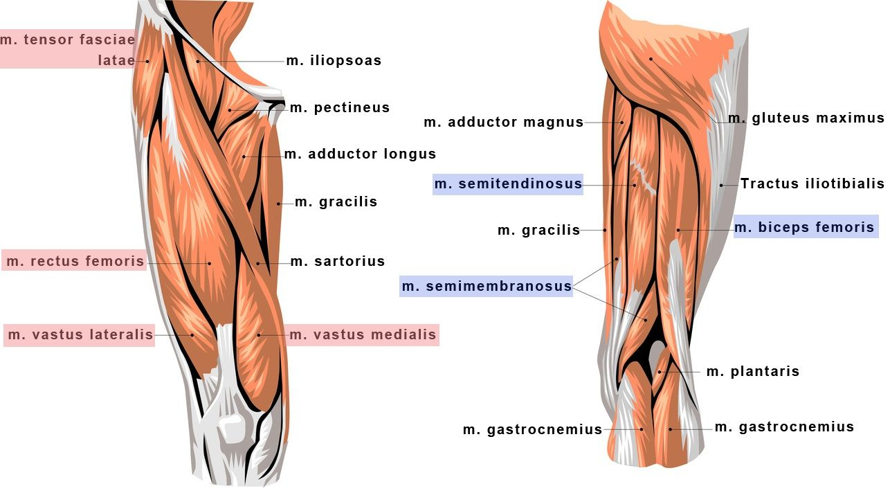 Emg asymetricity of selected knee extensor muscles in sustained squat posture a yogic posture for Exterior knee pain