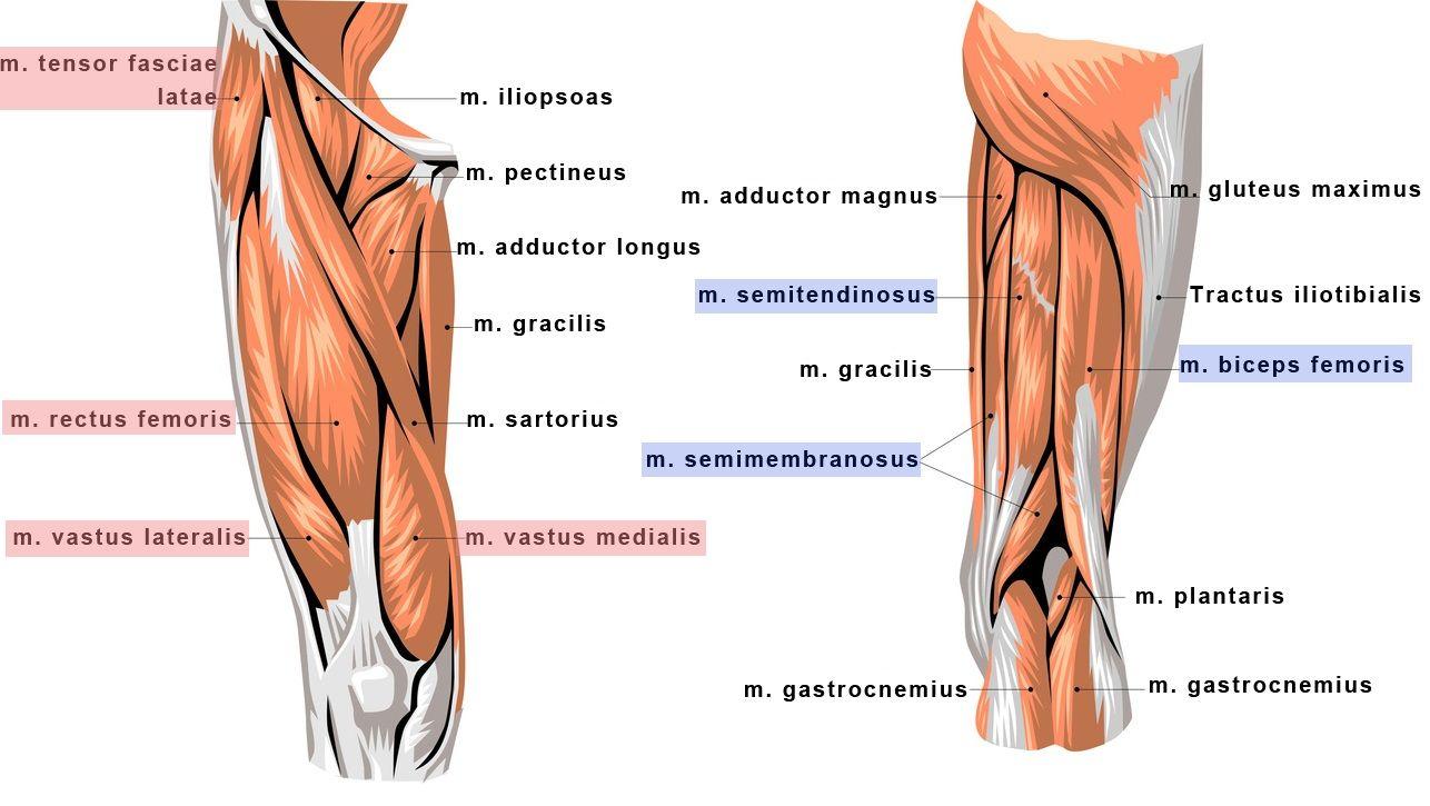 Knee muscles anatomy