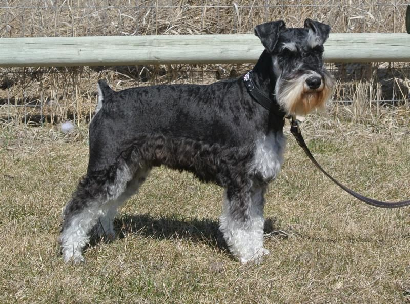 Update Almost All Of Our Puppies Are Here Or Will Be Here Between Now Christmas 2015 This Is Th Schnauzer Puppy Black Puppy Miniature Schnauzer Puppies