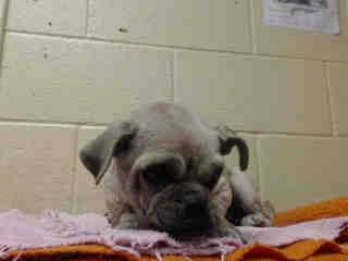 SAFE --- SHE'S HAVING TROUBLE WITH HER BACK LEGS! PLEDGES AND RESCUE NEEDED!  A4790328 I don't have a name yet and I'm an approximately 3 year old female pug. I am not yet spayed. I have been at the Downey Animal Care Center since January 8, 2015. I will be available on January 12, 2015. You can visit me at my temporary home at D718.  https://www.facebook.com/photo.php?fbid=793999060680428&set=pb.100002110236304.-2207520000.1420897775.&type=3&theater